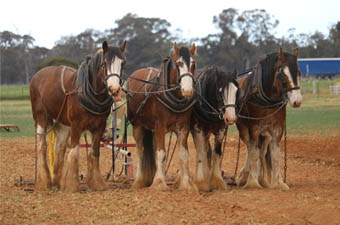 Heritage Draught  Horse Club- Demonstrations